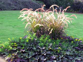annual color and fountain grass